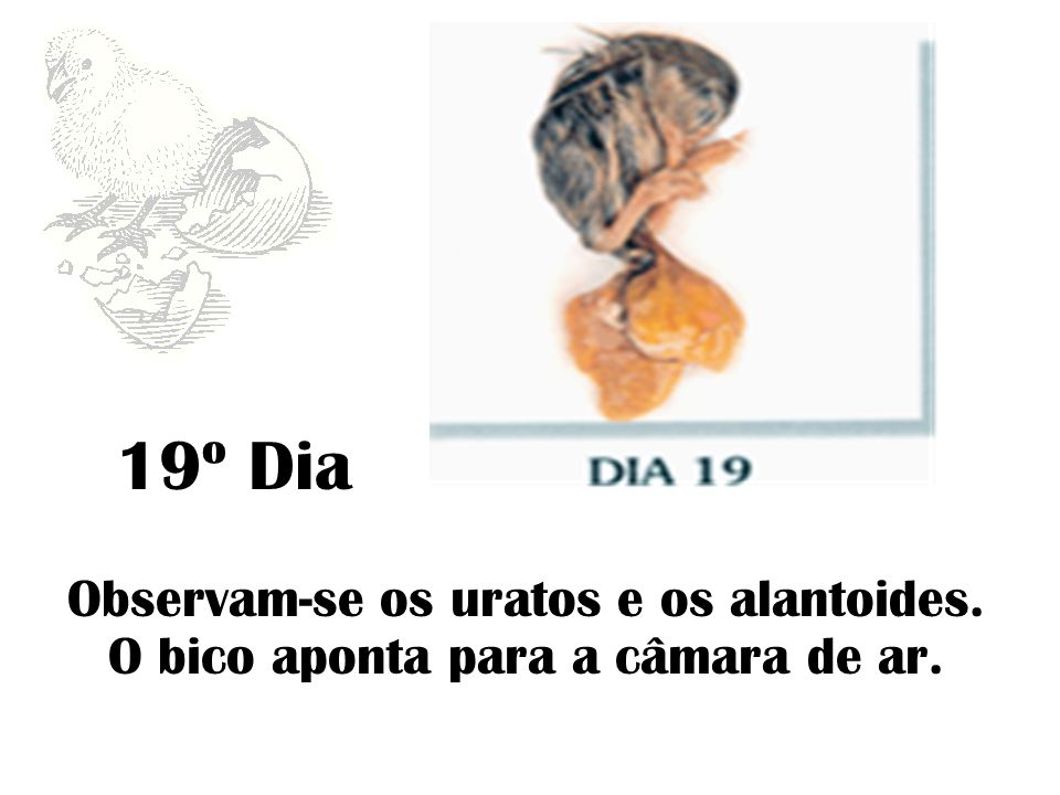 19º Dia Observam-se os uratos e os alantoides. O bico aponta para a câmara de ar.