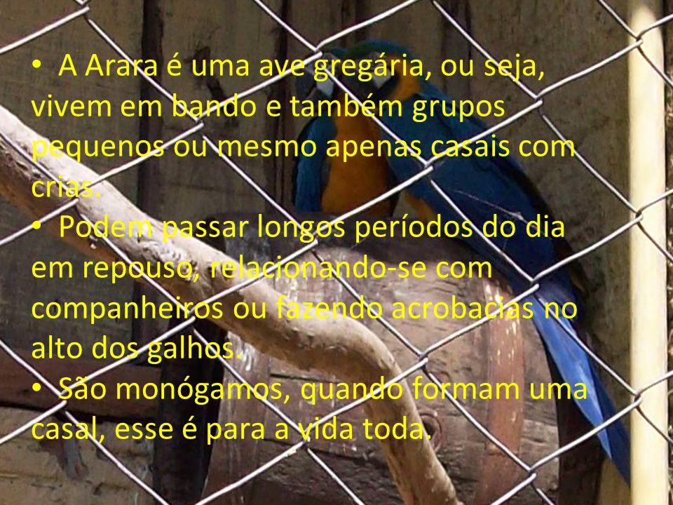 A Arara é uma ave gregária, ou seja, vivem em bando e também grupos pequenos ou mesmo apenas casais com crias.