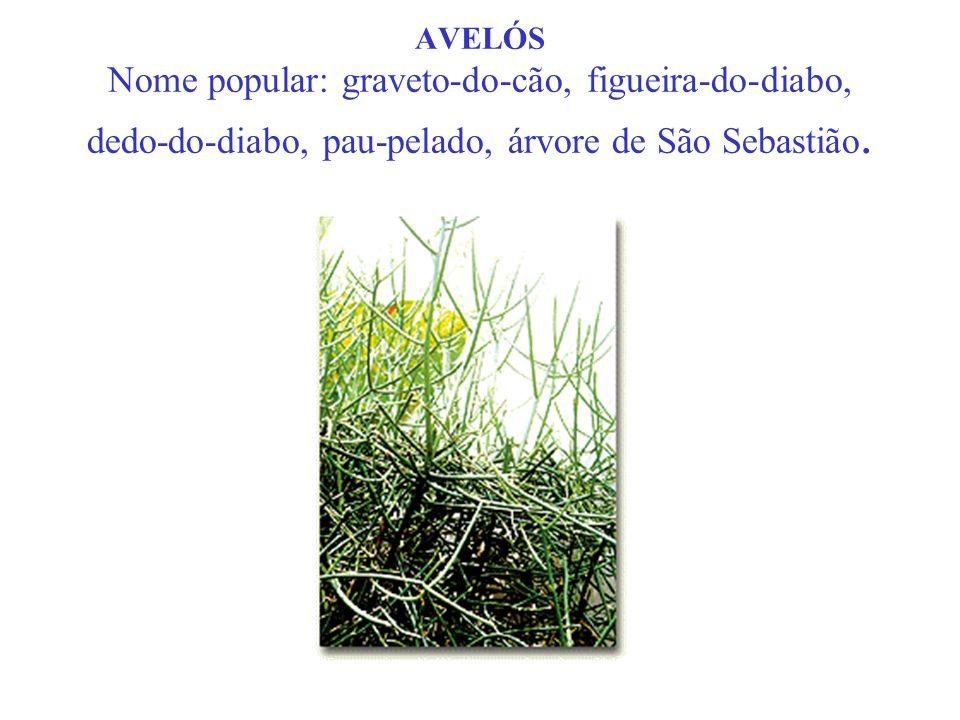 AVELÓS Nome popular: graveto-do-cão, figueira-do-diabo, dedo-do-diabo, pau-pelado, árvore de São Sebastião.
