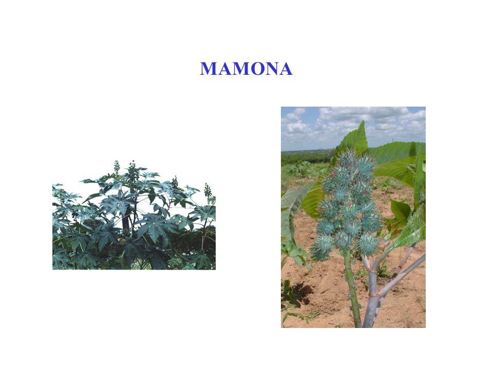 MAMONA
