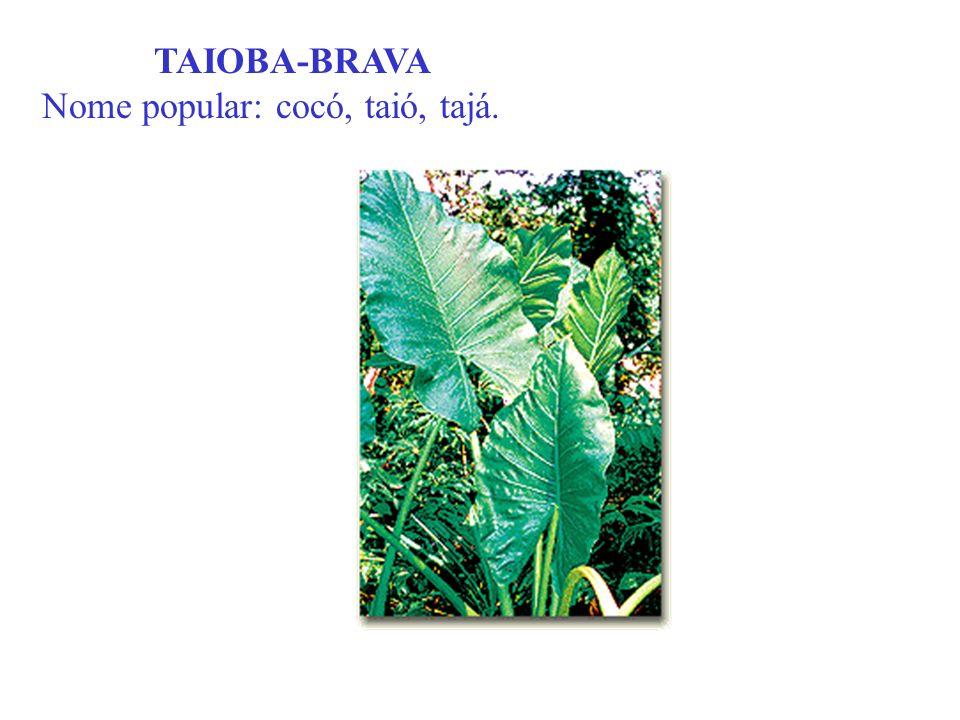 TAIOBA-BRAVA Nome popular: cocó, taió, tajá.