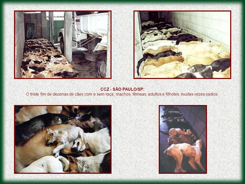 CCZ - SÃO PAULO/SP: O triste fim de dezenas de cães com e sem raça, machos, fêmeas, adultos e filhotes, muitas vezes sadios.