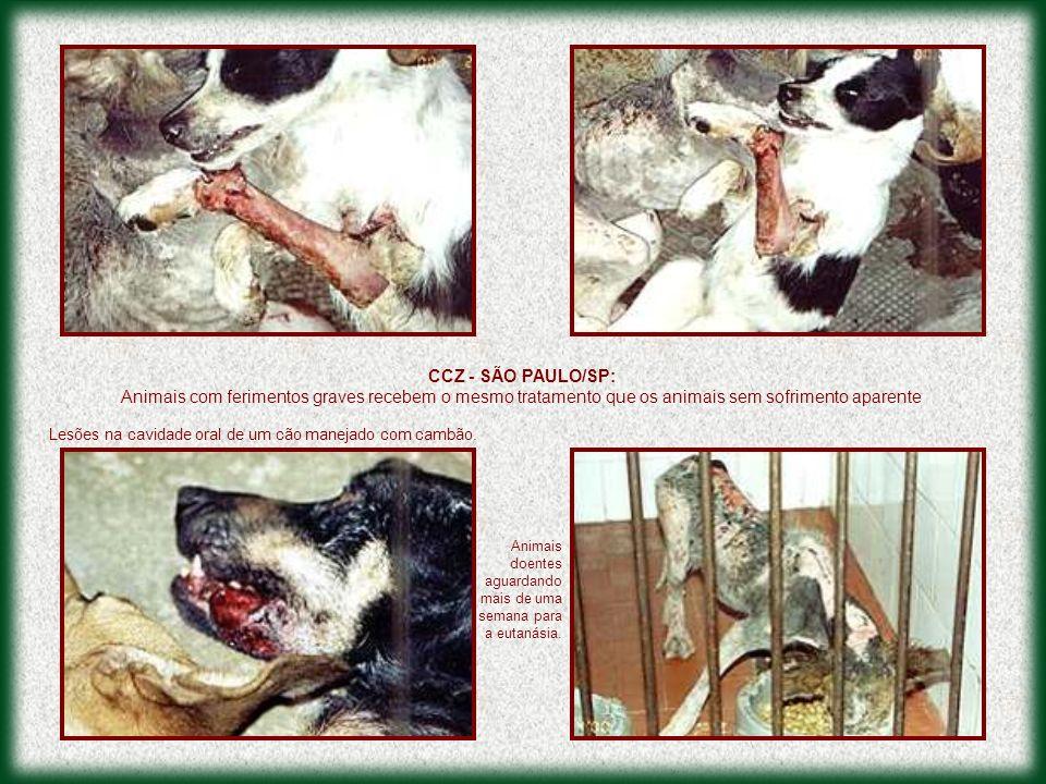 Lesões na cavidade oral de um cão manejado com cambão.