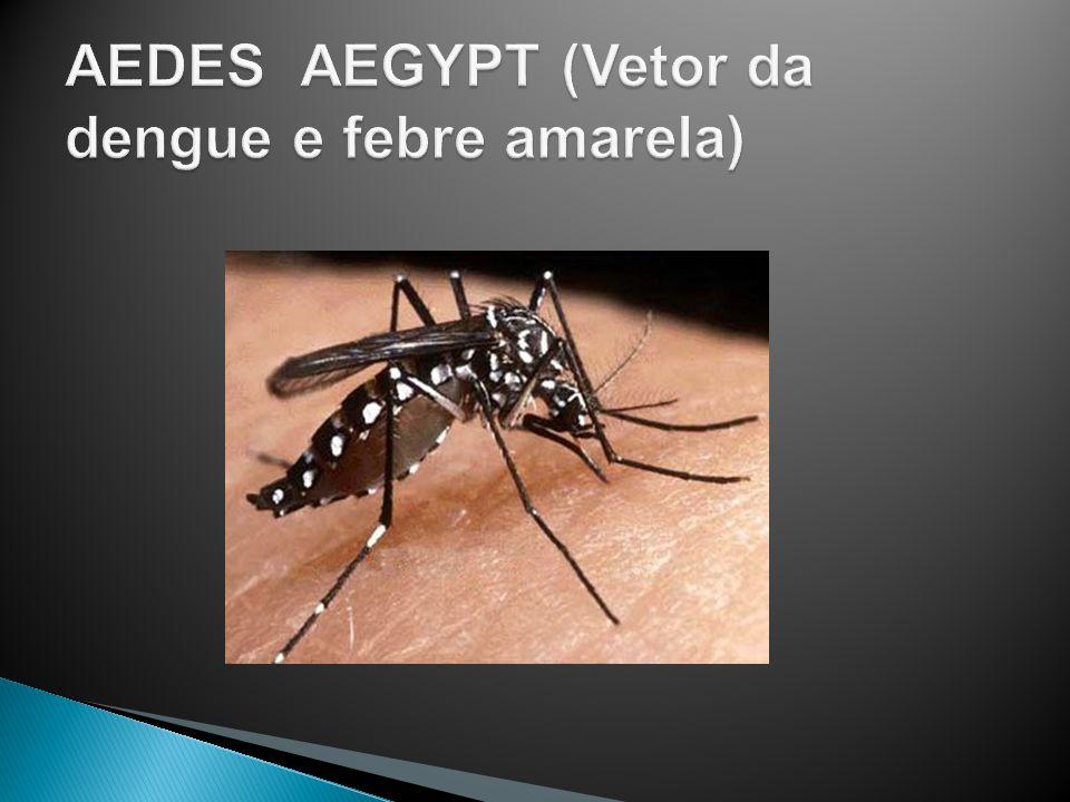AEDES AEGYPT (Vetor da dengue e febre amarela)