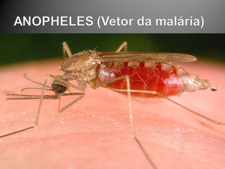 ANOPHELES (Vetor da malária)