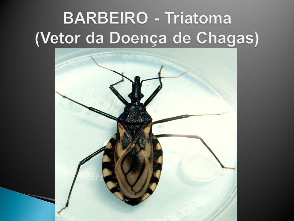 BARBEIRO - Triatoma (Vetor da Doença de Chagas)