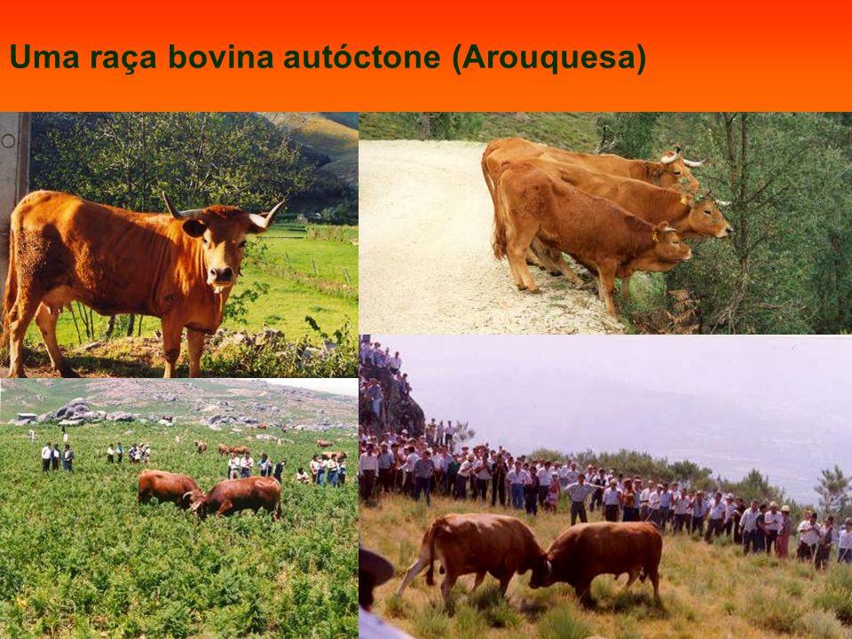 Uma raça bovina autóctone (Arouquesa)