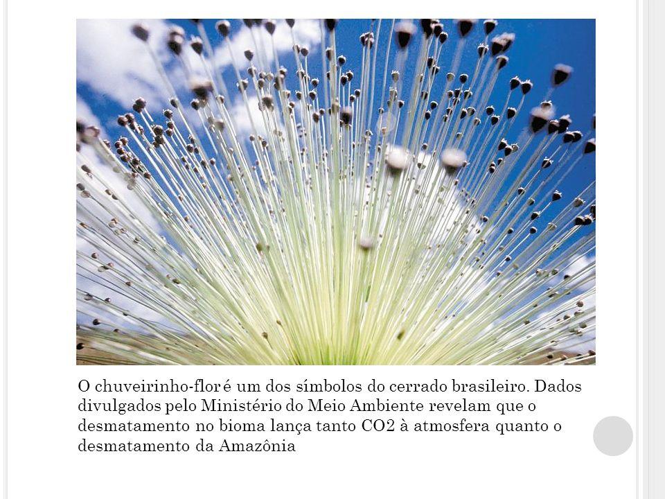O chuveirinho-flor é um dos símbolos do cerrado brasileiro