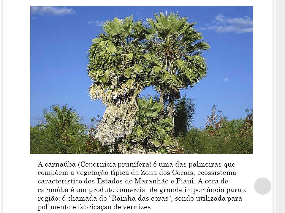A carnaúba (Copernicia prunífera) é uma das palmeiras que compõem a vegetação típica da Zona dos Cocais, ecossistema característico dos Estados do Maranhão e Piauí.