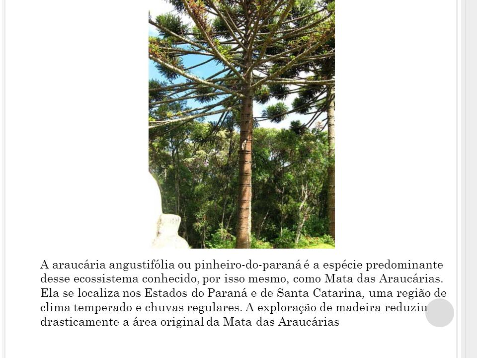 A araucária angustifólia ou pinheiro-do-paraná é a espécie predominante desse ecossistema conhecido, por isso mesmo, como Mata das Araucárias.