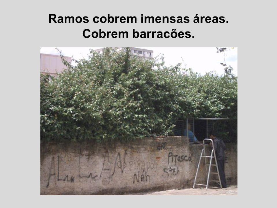 Ramos cobrem imensas áreas.