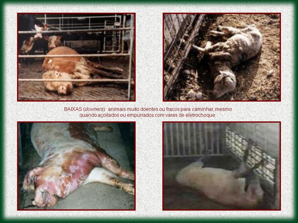 BAIXAS (downers): animais muito doentes ou fracos para caminhar, mesmo quando açoitados ou empurrados com varas de eletrochoque.