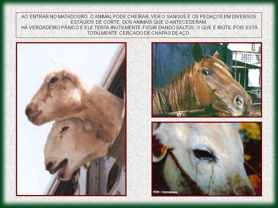 AO ENTRAR NO MATADOURO, O ANIMAL PODE CHEIRAR, VER O SANGUE E OS PEDAÇOS EM DIVERSOS ESTÁGIOS DE CORTE, DOS ANIMAIS QUE O ANTECEDERAM.