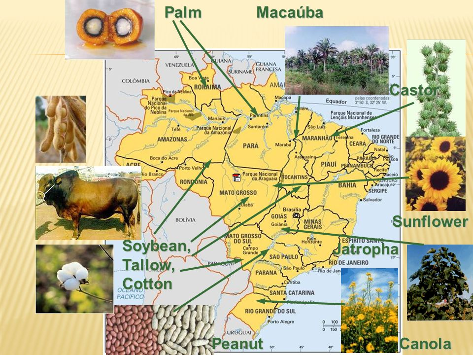 Palm Macaúba Castor Sunflower Soybean, Tallow, Cotton Jatropha Peanut Canola