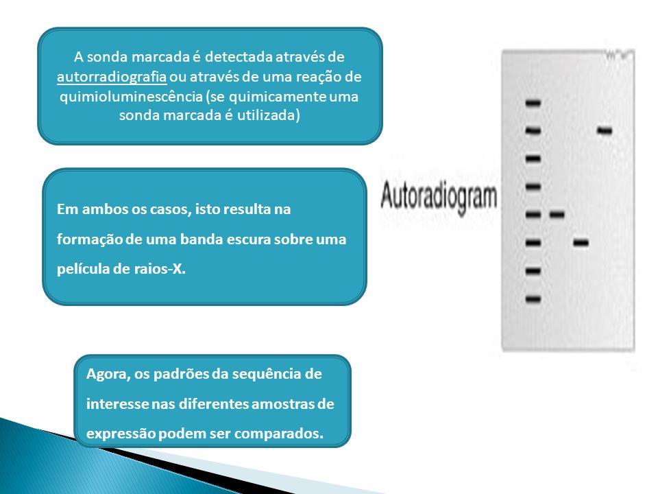 A sonda marcada é detectada através de autorradiografia ou através de uma reação de quimioluminescência (se quimicamente uma sonda marcada é utilizada)