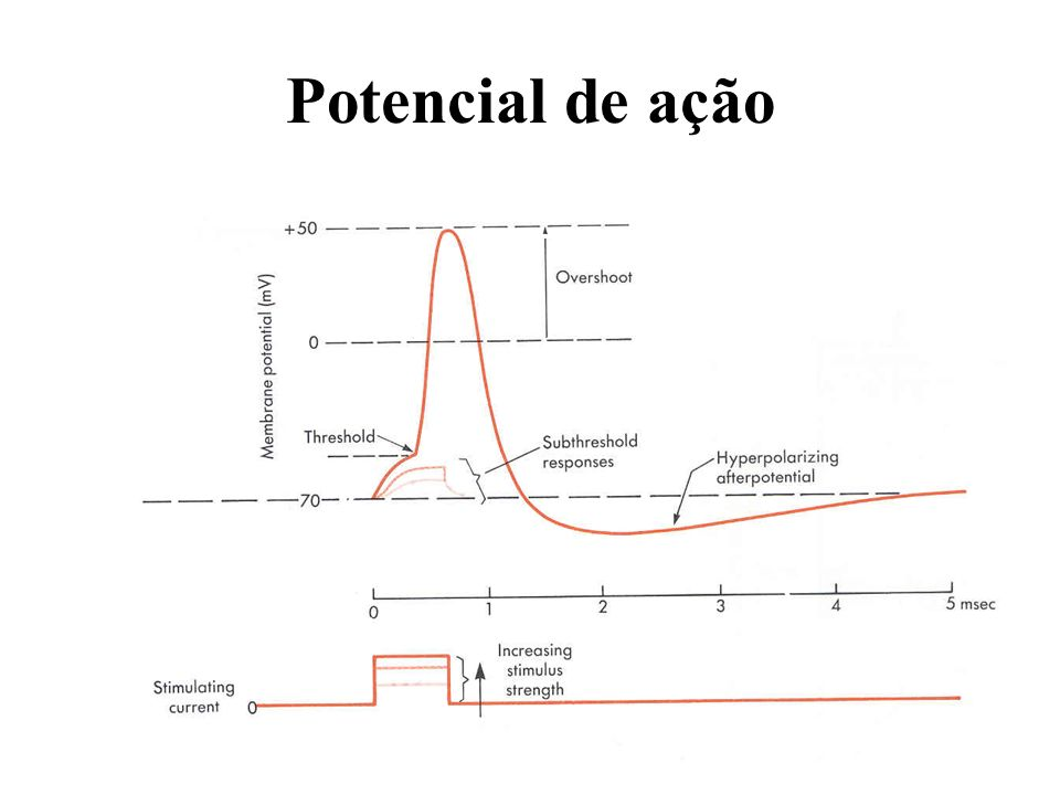 Potencial de ação Potassium channels open Threshold for