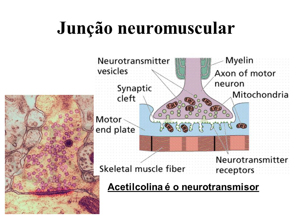 Junção neuromuscular Acetilcolina é o neurotransmisor