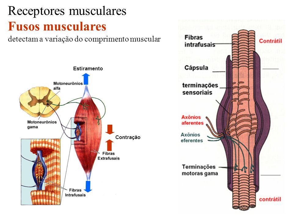 Receptores musculares Fusos musculares