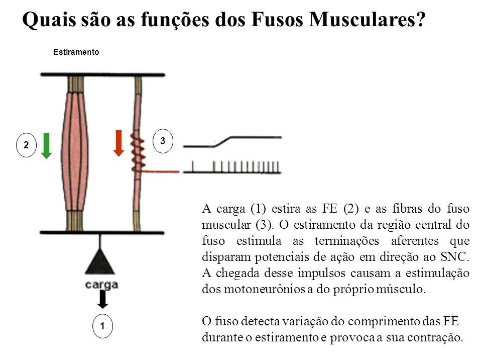 Quais são as funções dos Fusos Musculares