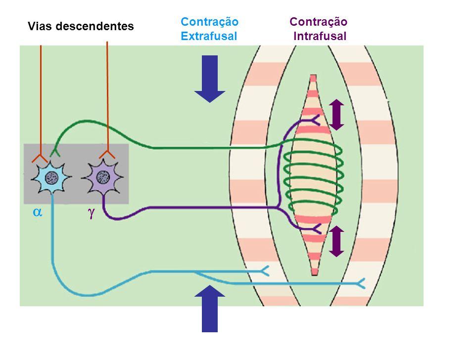 Contração Extrafusal Contração Intrafusal Vias descendentes a g