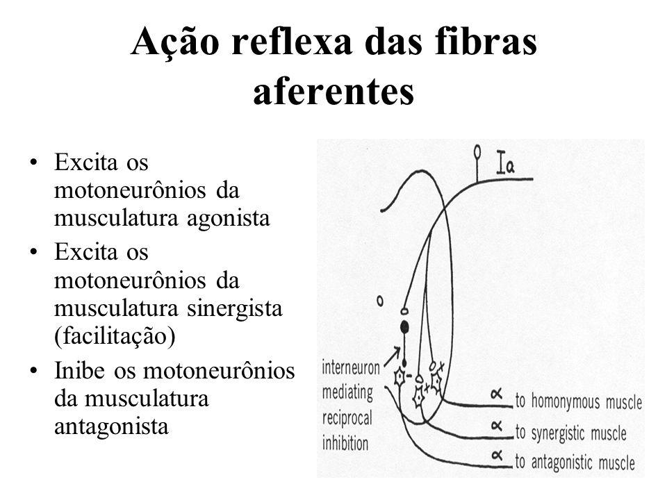 Ação reflexa das fibras aferentes
