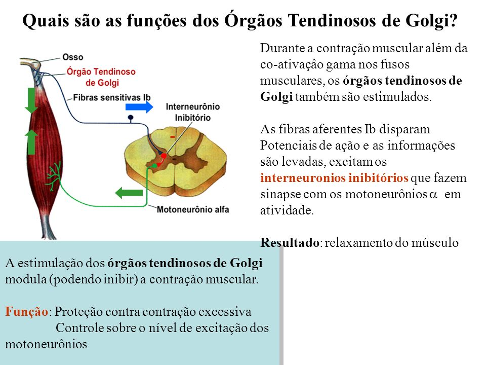 Quais são as funções dos Órgãos Tendinosos de Golgi