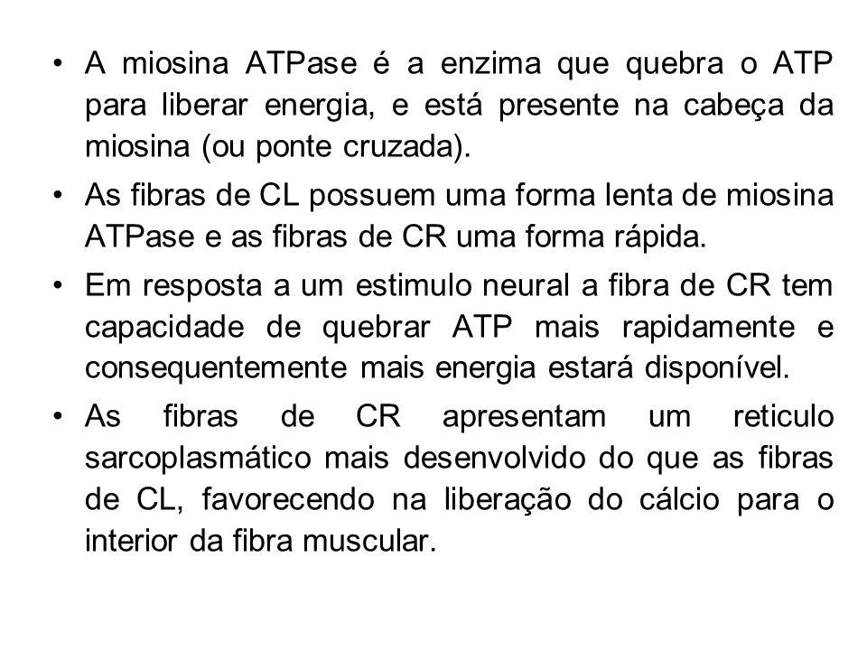 A miosina ATPase é a enzima que quebra o ATP para liberar energia, e está presente na cabeça da miosina (ou ponte cruzada).