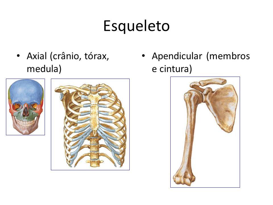 Esqueleto Axial (crânio, tórax, medula)