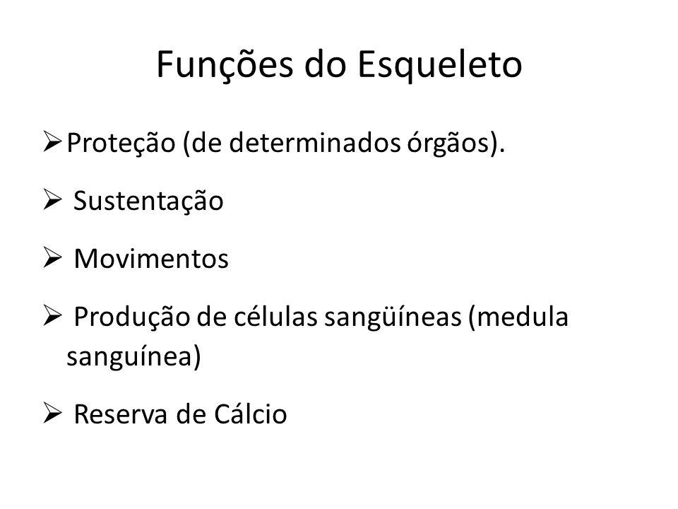 Funções do Esqueleto Proteção (de determinados órgãos). Sustentação
