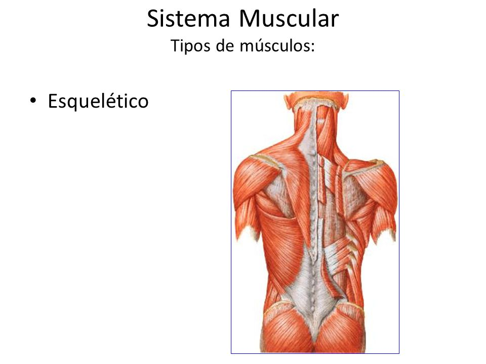 Sistema Muscular Tipos de músculos: