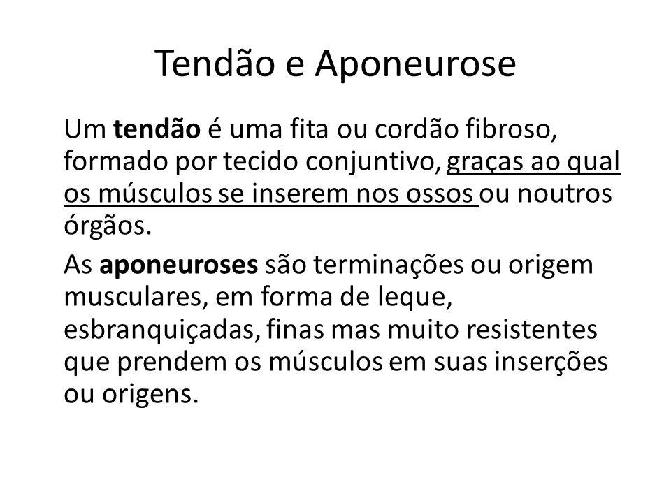 Tendão e Aponeurose