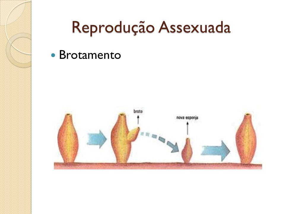Reprodução Assexuada Brotamento