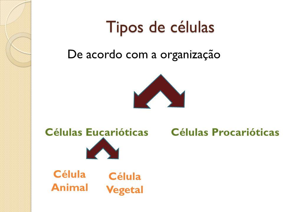 Tipos de células De acordo com a organização Células Eucarióticas