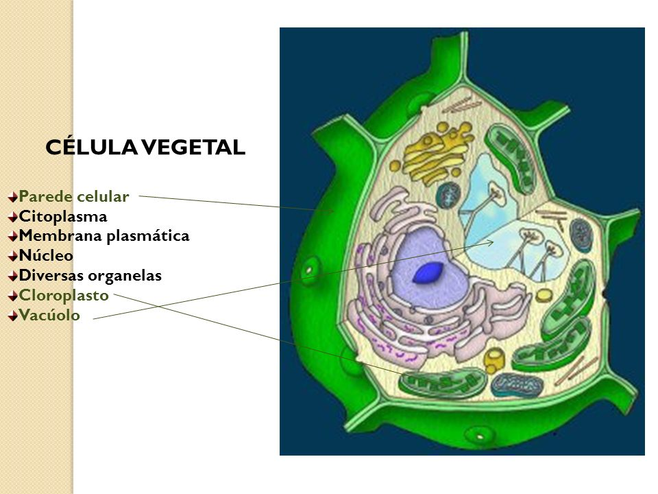 CÉLULA VEGETAL Parede celular Citoplasma Membrana plasmática Núcleo