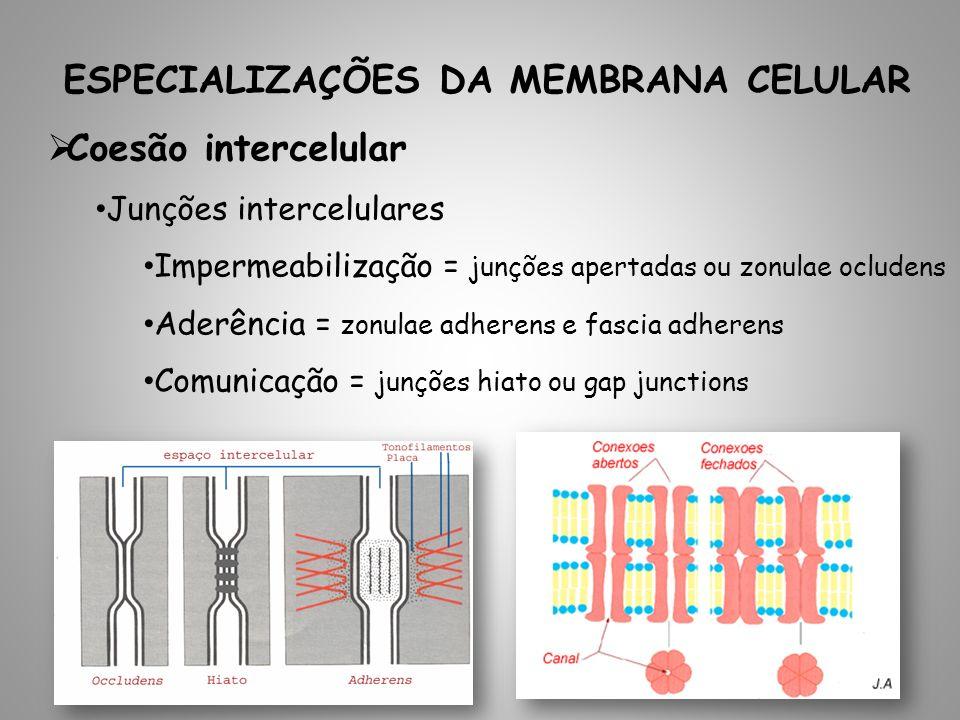 ESPECIALIZAÇÕES DA MEMBRANA CELULAR Coesão intercelular