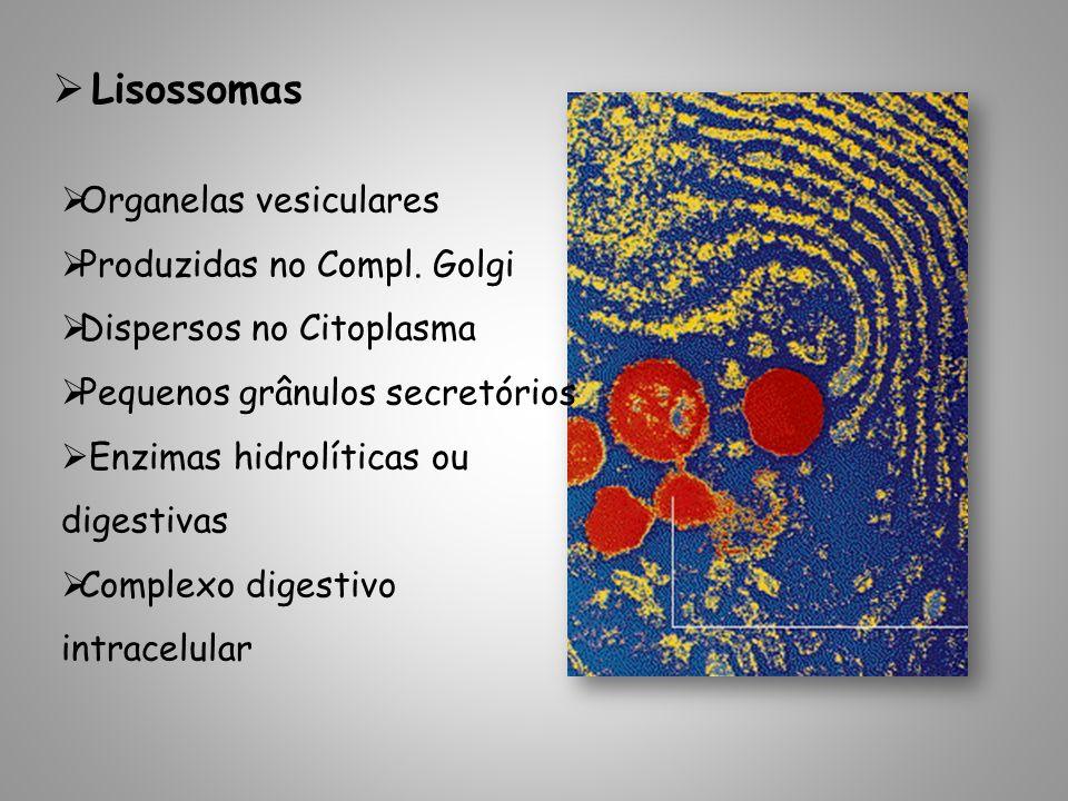 Lisossomas Organelas vesiculares Produzidas no Compl. Golgi