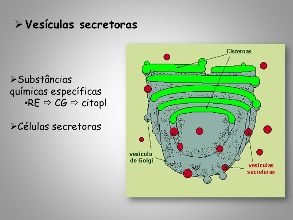 Vesículas secretoras Substâncias químicas específicas RE  CG  citopl