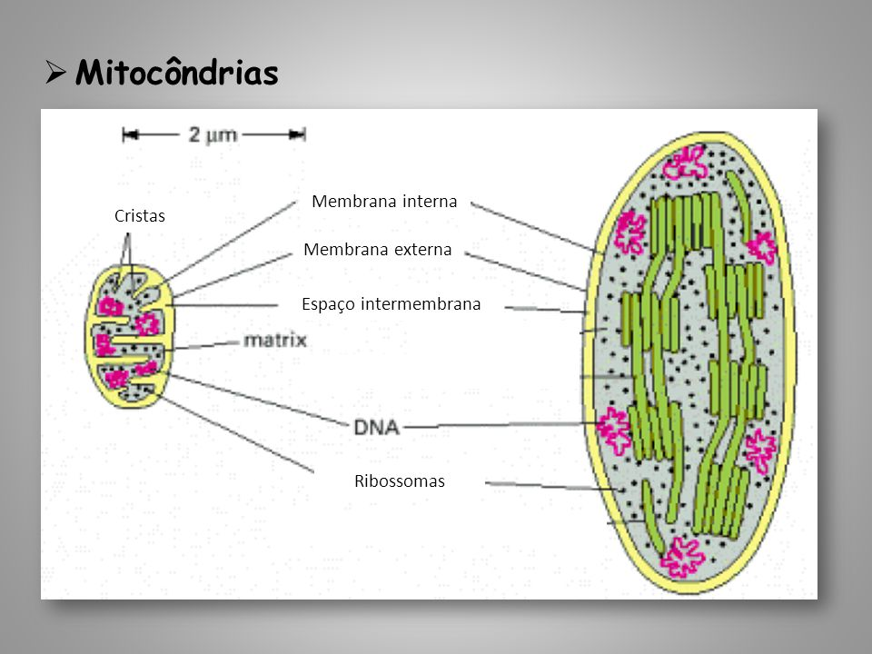 Mitocôndrias Membrana interna Cristas Membrana externa