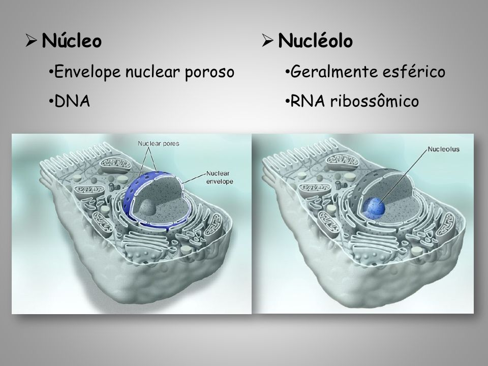 Núcleo Nucléolo Envelope nuclear poroso DNA Geralmente esférico