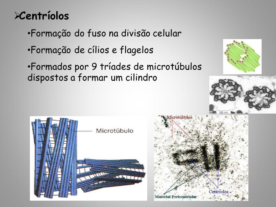 Centríolos Formação do fuso na divisão celular