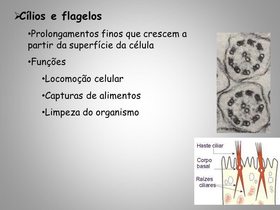 Cílios e flagelos Prolongamentos finos que crescem a partir da superfície da célula. Funções. Locomoção celular.