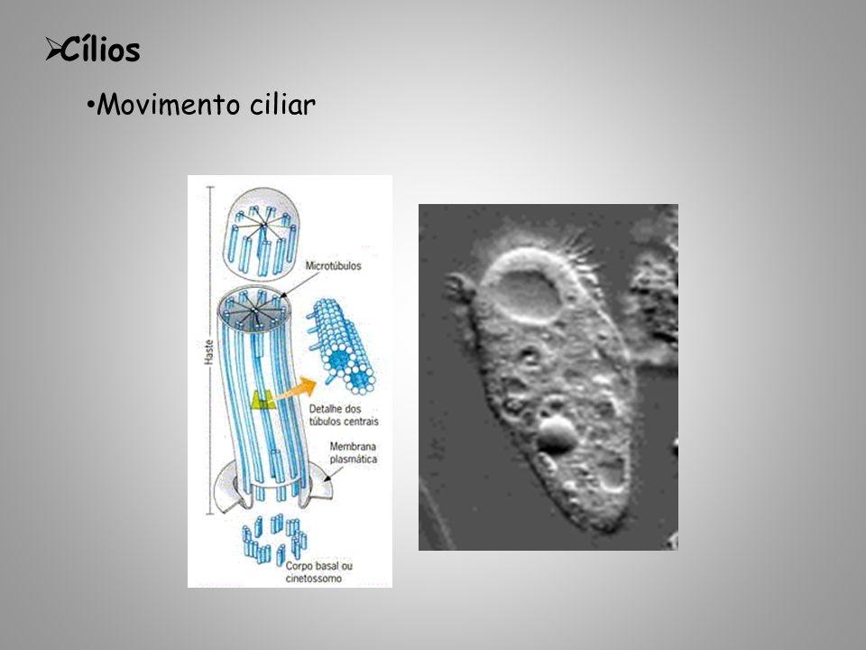 Cílios Movimento ciliar