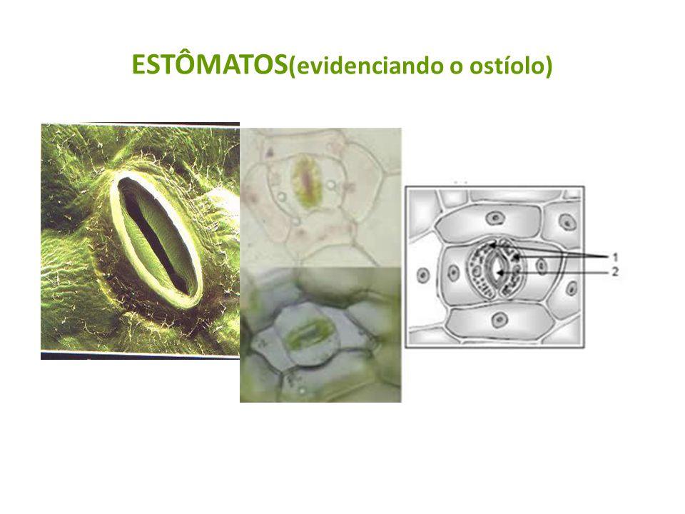 ESTÔMATOS(evidenciando o ostíolo)