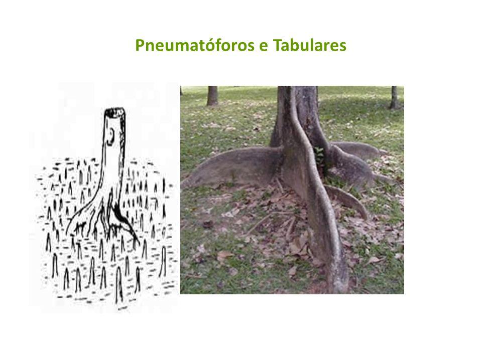 Pneumatóforos e Tabulares