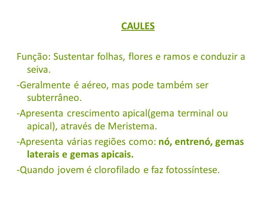 CAULES Função: Sustentar folhas, flores e ramos e conduzir a seiva. -Geralmente é aéreo, mas pode também ser subterrâneo.