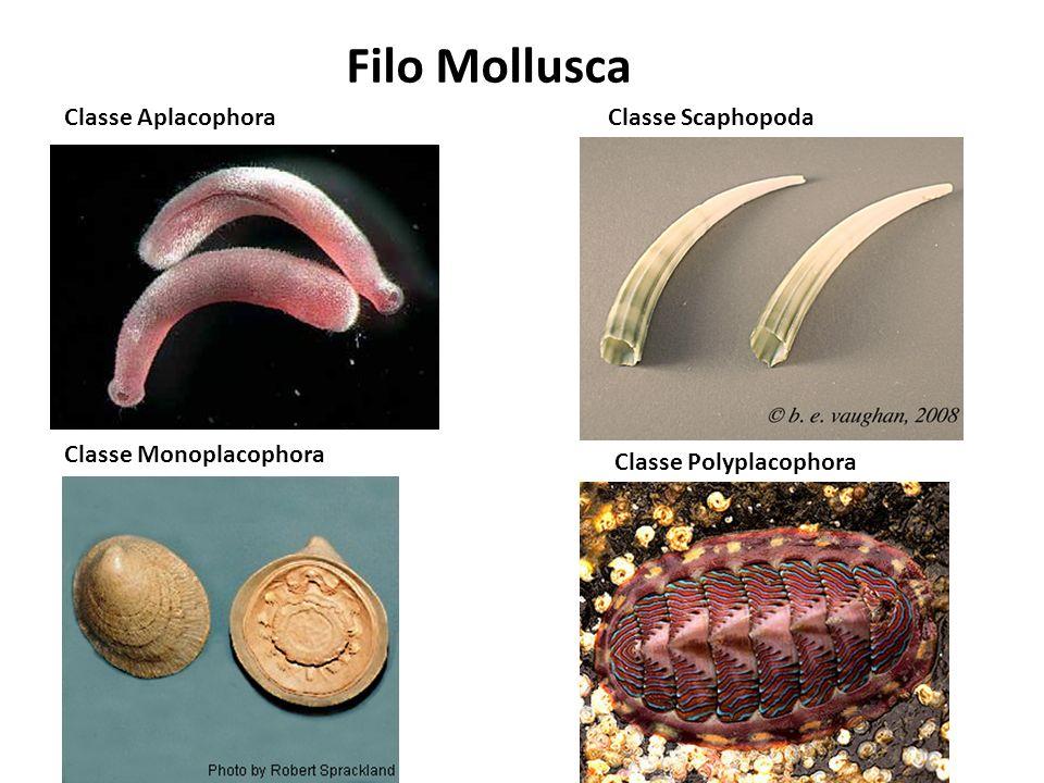 Filo Mollusca Classe Aplacophora Classe Scaphopoda