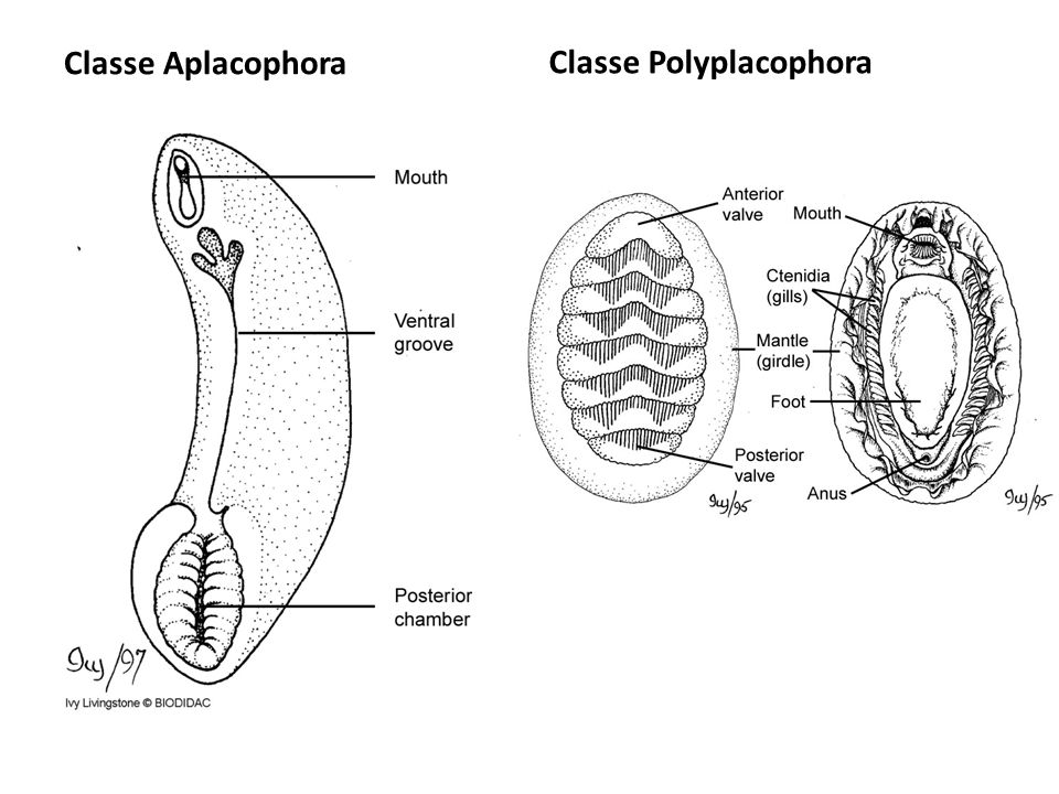 Classe Aplacophora Classe Polyplacophora