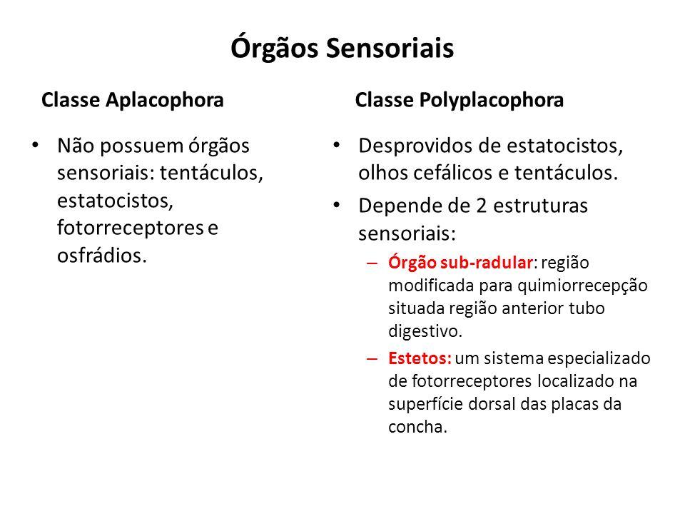 Órgãos Sensoriais Classe Aplacophora Classe Polyplacophora
