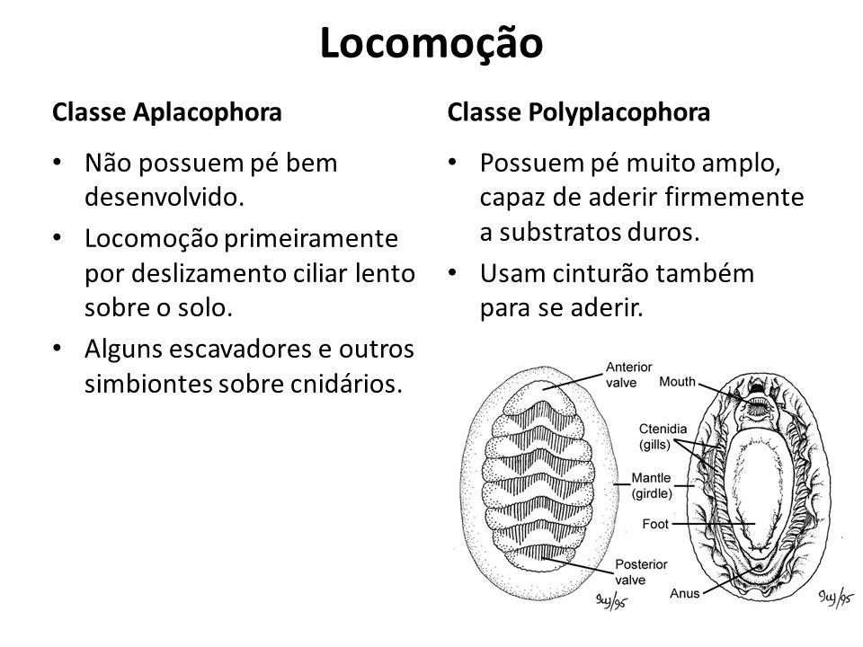 Locomoção Classe Aplacophora Classe Polyplacophora