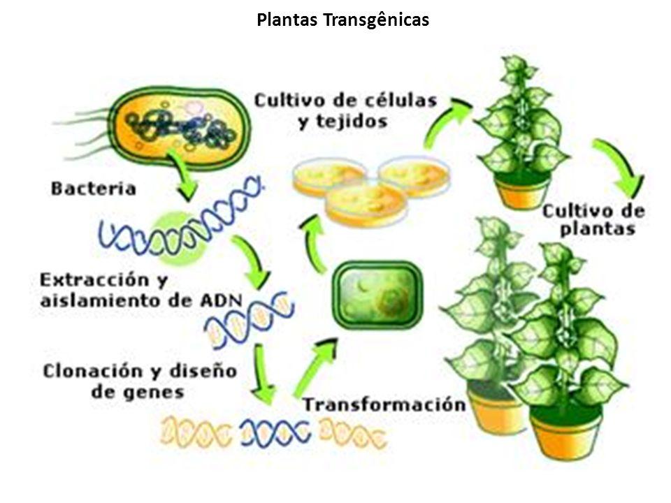 Plantas Transgênicas